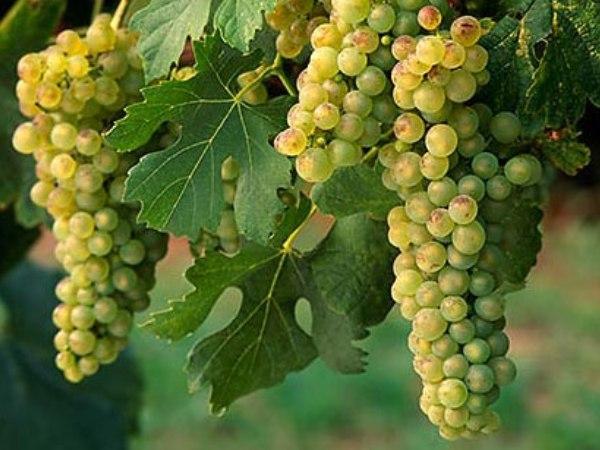 Виноград плодовый анюта - кусты винограда большой силы роста